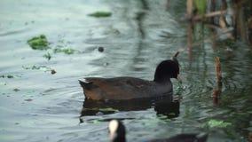 Eurazjatycki Coot Fulica atra na jeziorze zbiory wideo