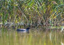 Eurazjatycki coot z otwartym belfrem w jeziorze fotografia royalty free