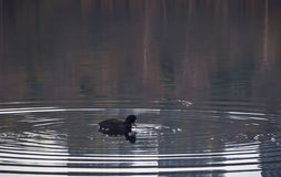 Eurazjatycki coot ześrodkowywał w pierścionkach na wodzie na spokojnym jeziorze Zdjęcie Royalty Free