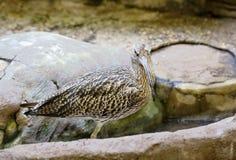 Eurazjatycki Curlew Fotografia Royalty Free