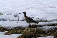 Eurazjatycki curlew na śniegu Obraz Royalty Free