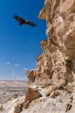 Eurazjatycki czarnego sępa Aegypius monachus Obrazy Royalty Free