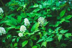 Eurazjatycki czerna Actaea spicata kwitnienie w lesie Fotografia Royalty Free