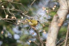 Eurazjatycki czyżyk w Japonia Zdjęcia Royalty Free