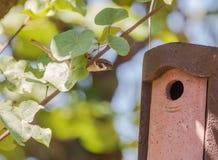 Eurazjatycki Drzewnego wróbla gniazdeczka wchodzić do pudełko Zdjęcie Stock