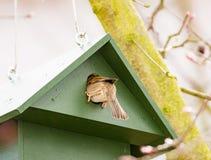 Eurazjatycki Drzewny wróbel w Birdhouse Obraz Royalty Free