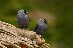 Eurazjatycki Jackdaw Corvus monedula z otwartym belfra obsiadaniem na kamieniu Łosia amerykańskiego kamień z czarnym ptakiem Czar obrazy stock