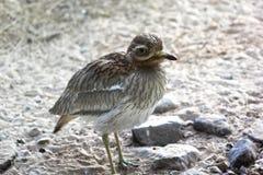 Eurazjatycki kamiennego curlew Burhinus oedicnemusor eurazjata kolano Dziki życia zwierzę Fotografia Royalty Free