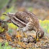 Eurazjatycki kamienny curlew prostuje jajka w sprzęgle Zdjęcie Royalty Free