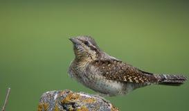 Eurazjatycki krętogłów - Jynx torquilla Zdjęcia Stock