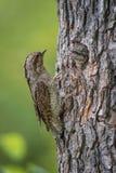 Eurazjatycki krętogłów, Jynx torquilla karmi swój kurczątka zdjęcie stock