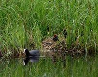 Eurazjatycki lub pospolity coot, fulicula atra, żeńska mallard kaczka z kaczątkami Zdjęcia Royalty Free