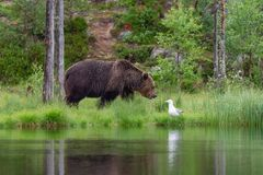Eurazjatycki niedźwiedź brunatny i śledziowy frajer obrazy royalty free