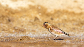 Eurazjatycki Oskrzydlony Finch zdjęcia royalty free