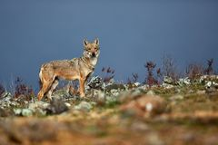 Eurazjatycki popielatego wilka Canis lupus lupus, stara alfa kobieta w Bułgarskich górach Przyrody scena od natury fotografia stock