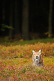 Eurazjatycki ryś w lesie Fotografia Royalty Free