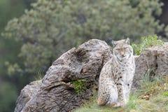 Eurazjatycki ryś na górze skały Fotografia Stock