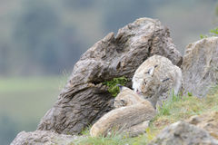 Eurazjatycki ryś na górze skały Fotografia Royalty Free