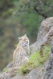Eurazjatycki ryś na górze skały Zdjęcie Royalty Free