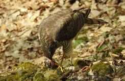 Eurazjatycki sparrowhawk Accipiter nisus karmienie obrazy royalty free