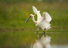 Eurazjatycki Spoonbill, rzadki biały ptak w płytkiej wodzie z szeroko rozpościerać skrzydłami zdjęcia stock