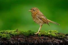 Eurazjatycki strzyżyk, troglodyta troglodyta, brown ptaka śpiewającego obsiadanie w wodzie, ładna liszaj gałąź, ptak w natury sie Zdjęcia Stock