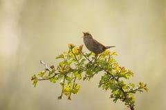 Eurazjatycki strzyżyka ptaka śpiew Zdjęcie Royalty Free