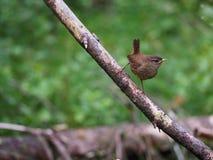 Eurazjatycki strzyżyk Zdjęcie Stock