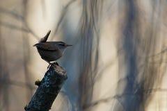 Eurazjatycki strzyżyk Fotografia Royalty Free