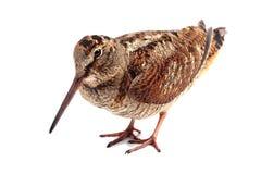 Eurazjatycki Woodcock na bielu (Scolopax rusticola) Fotografia Stock