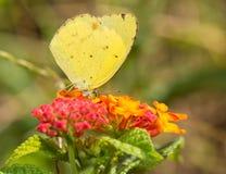 Eurema莉萨,哺养在一朵黄色和红色马樱丹属花的小的黄色蝴蝶 图库摄影