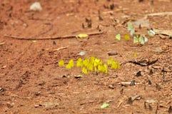 Eurema desjardinsii 图库摄影