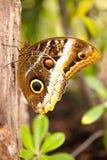 Eurilochus Caligo Στοκ Φωτογραφίες