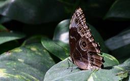 Eurilochus de Caligo, borboleta da coruja na folha verde Fotos de Stock Royalty Free
