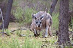 Euro Kangaroo. Australian Euro Kangaroo found in the Flinders Ranges South Australia Stock Photos