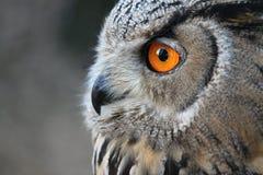 Euroasian Eagle Owl Royalty-vrije Stock Afbeeldingen