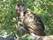 Euroasian Eagle Owl stock afbeelding