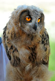 Euroasian Eagle Owl chick Stock Photos
