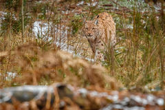 Euroasian lynx face to face in the bavarian national park in eastern germany Royalty Free Stock Photography