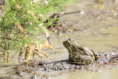 A Euroasian Marsh Frog on Mud Royalty Free Stock Image