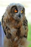 euroasian owl för fågelungeörn Arkivfoton