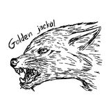 Euroepan golden jackal canis aureus is threatening - vector illu. Stration sketch hand drawn with black lines, isolated on white background Stock Photo