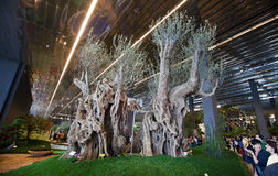 Euroflora 2011 - jumeaux antiques d'oliviers Photo stock