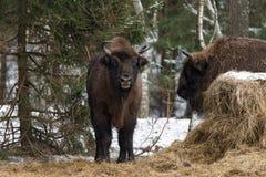 Europäer Bison Wisent, Aurochs, Bison Bonasus Standing Near Haystack und Blicke auf Sie gegen den Hintergrund von Winter-Wald B Stockfoto
