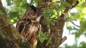 Europäer Eagle Owl, Asio Otus, Erwachsener, der auf dem Baum, herum schauend steht, Normandie in Frankreich, stock video footage