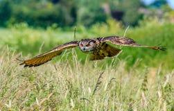 Europäer Eagle Owl im Flug Lizenzfreies Stockfoto