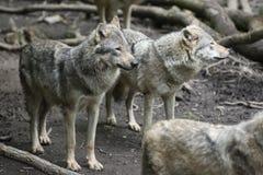 Europäer-Grey Wolf-Satz Stockbilder