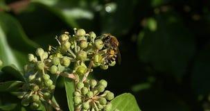 Europäer Honey Bee, API mellifera, Erwachsener, der Blütenstaub auf Efeu ` s Blume, Hederahelix erfasst, Normandie, stock footage