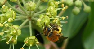 Europäer Honey Bee, API mellifera, Erwachsener, der Blütenstaub auf Efeu ` s Blume, Hederahelix erfasst, Normandie, stock video footage