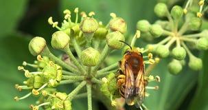 Europäer Honey Bee, API mellifera, Erwachsener, der Blütenstaub auf Efeu ` s Blume, Hederahelix erfasst, Normandie, stock video